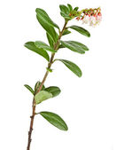 Flowering cowberry plant — Stock Photo