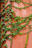 Green leaves on a orange wall — Stock Photo