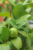 Lemon trees — Stock Photo