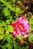 Rosa - roja flor roja — Foto de Stock