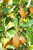 Sapodilla tree. — Stock Photo