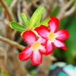 Stock Photo: Impala lily adenium - pink flowers