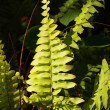 Green Fern — Stock Photo #33890797