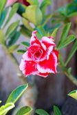 Desert rose - Red flower — Stock Photo