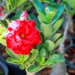 Desert rose - Red flower — Stock Photo