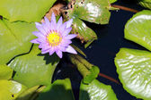 Purple lotus flowers — Stock Photo