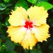 Flowers orange - Hibiscus flower — Stock Photo