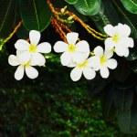 Desert rose - white flower — Stock Photo