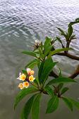Frangipani flower - white flowers near the river. — Stock Photo