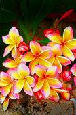 Frangipani flower - pink flowers yellow In nature. — Stock Photo