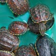 Turtle — Stock Photo #33959755