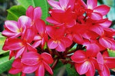 Frangipani flower - pink flowers in nature. — Stock Photo