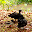 Black Swan — Stock Photo #34031253