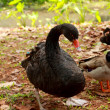 Black Swan — Stock Photo #34031349