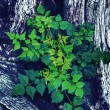 Green leaves on the old wood.  — Zdjęcie stockowe