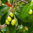 Hog Plum on tree — Stockfoto
