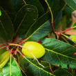 Hog Plum on tree — Stock Photo