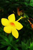 Yellow flower - Allamanda — Stock Photo
