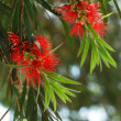 Red flower - weeping willow — Stock Photo #34109811