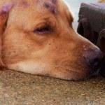 Labrador dogs head — Stock Photo