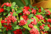 West Indian Jasmine - red flowers — Stock Photo