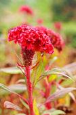 Cockscomb flowers. — Stock Photo