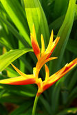Heliconia yellow flower — Stock Photo