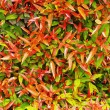 Green and red leaves in the garden — Stock Photo