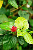 Red hibiscus flowers in nature — Stock Photo
