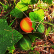 Little Watermelon on natural ground. — Foto de Stock