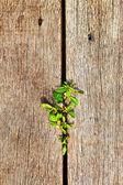 Madera vieja de fondo de hojas verdes. — Foto de Stock