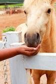 Händerna hästarna på gården. — Stockfoto