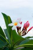 Frangipani flower - pink flowers — Stock Photo