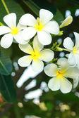 Frangipani flower - white flowers — Stock Photo