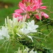 Stock Photo: Spider Flower