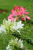 Spider Flower — Stock Photo