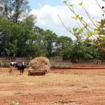 Cow on a farm — Stock Photo