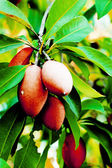 Sapodilla tree. — Stock Photo
