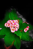 Euphorbia milii - pink flower — Stock Photo