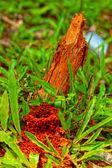 Karıncalar yuva doğa içinde — Stok fotoğraf