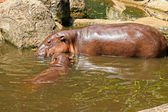 Hippo portrait in the nature — 图库照片