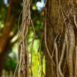Banyan trees roots. — Stock Photo