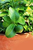 Lemon tree in garden — Stockfoto