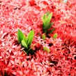 Ixora red flower — Stock Photo