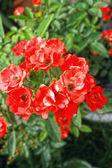 Rudá růže v přírodě — Stock fotografie