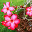 Stock Photo: Impallily adenium - pink flowers