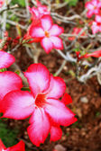Impala lily adenium - pink flowers — Stock Photo