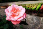 Närbild av rosa ros — Stockfoto