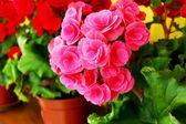 Close-up della rosa rosa — Foto Stock