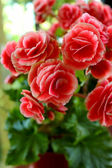 Close-up of red rose — Foto Stock